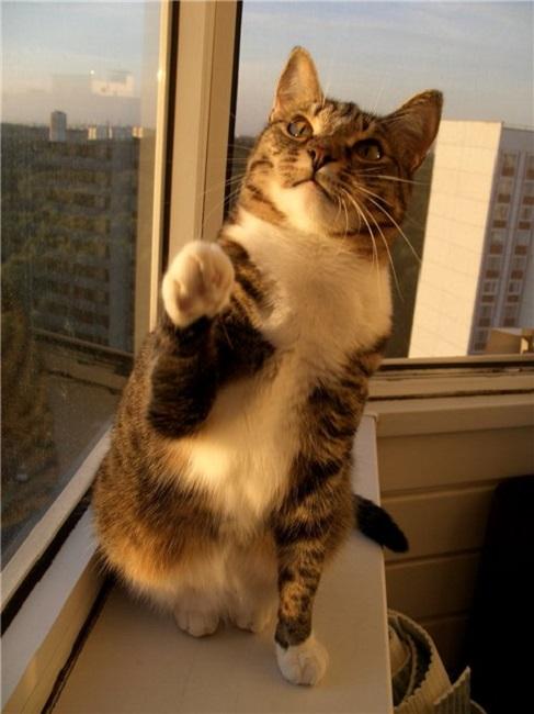 Кот даёт лапу
