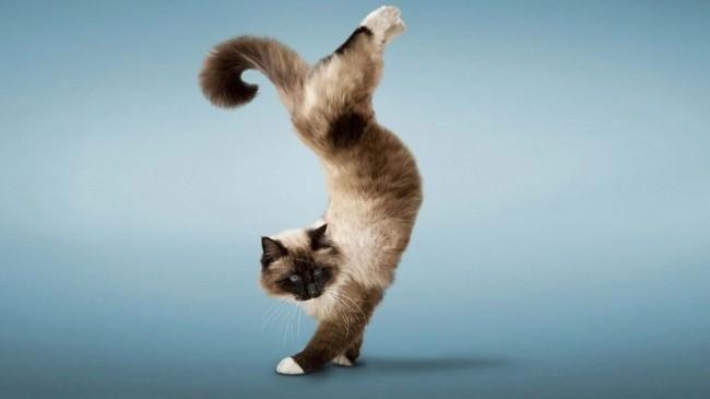 кот в стойке на передних лапах