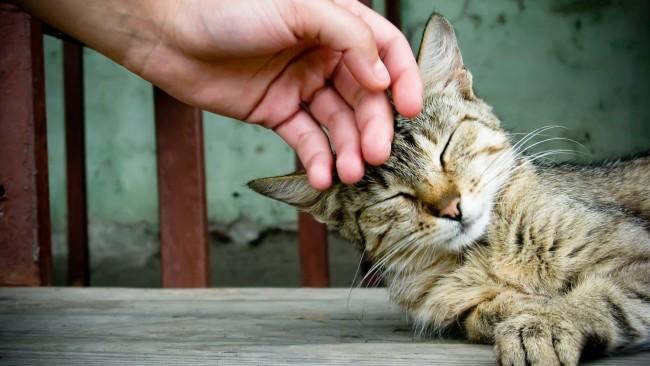 Кошку гладят по голове