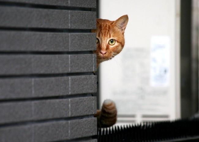 выглядывающий из-за угла кот